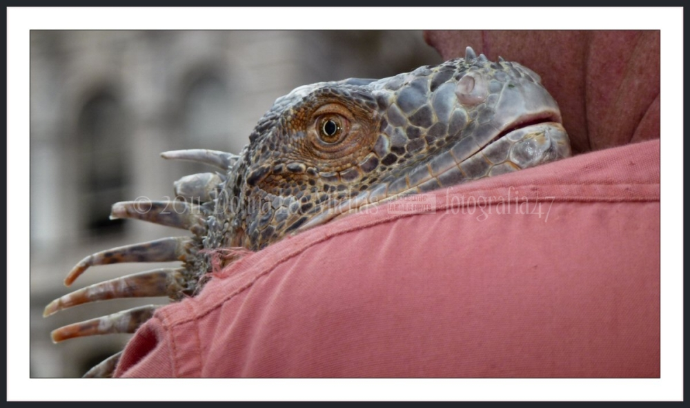 Iguana, on man's shoulder at Union Square NW.