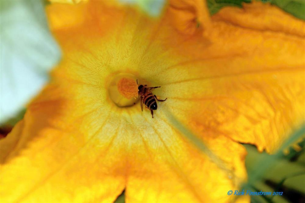 Bee in squash flower