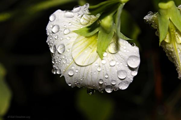 Rain Drops on Sweet pea