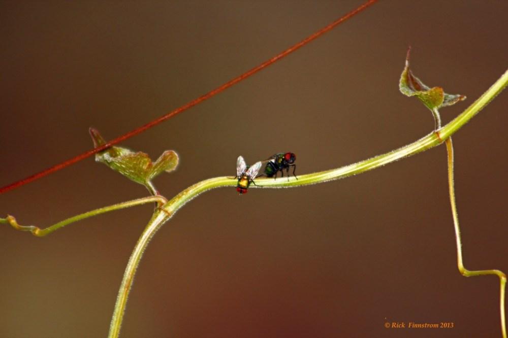 Couple of flies