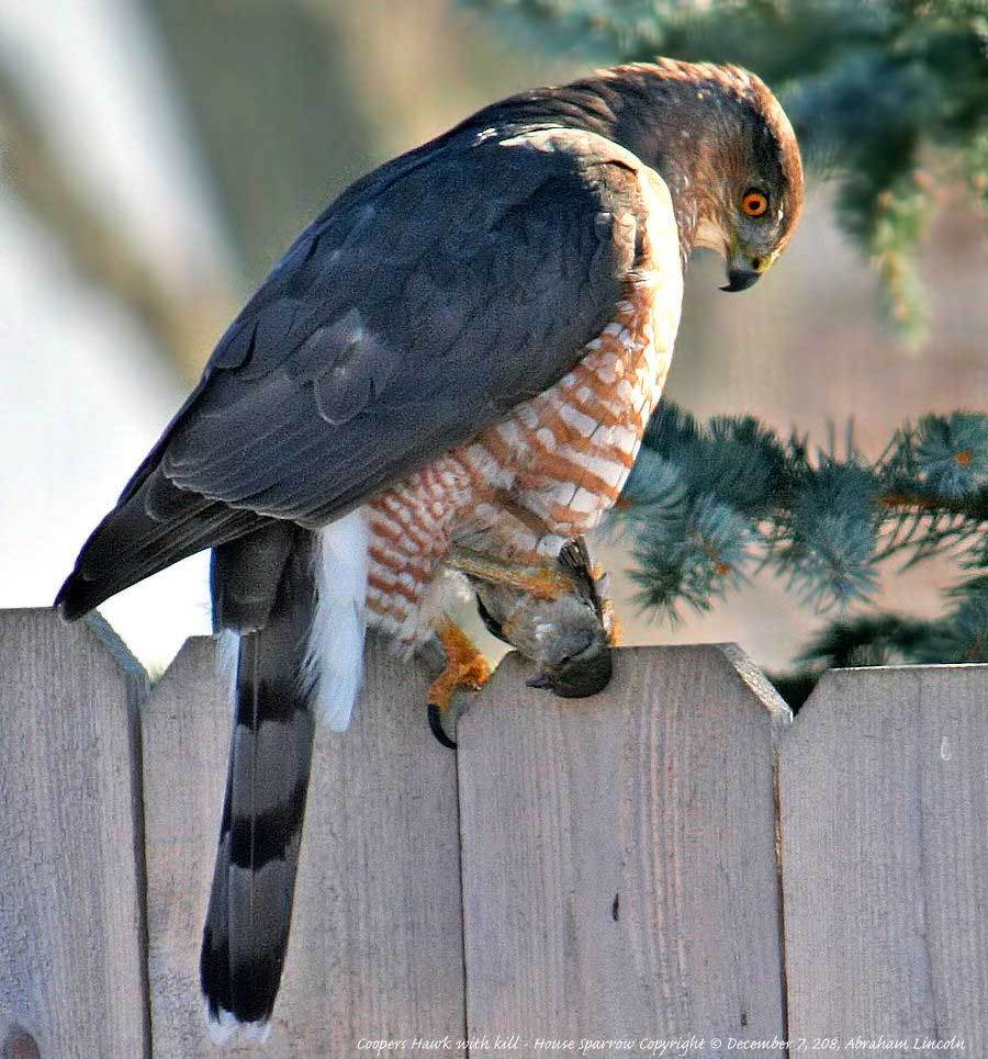 Coopers Hawk with Lunch