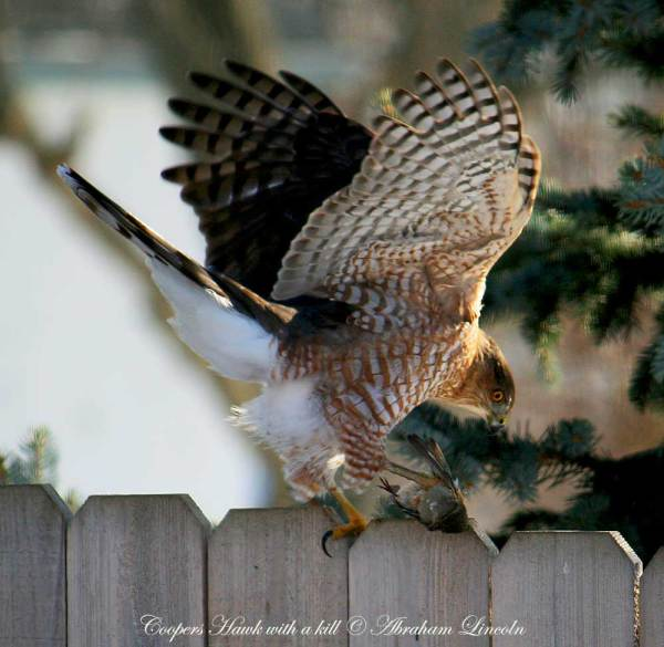 Coopers Hawk caught a small bird and will eat it.