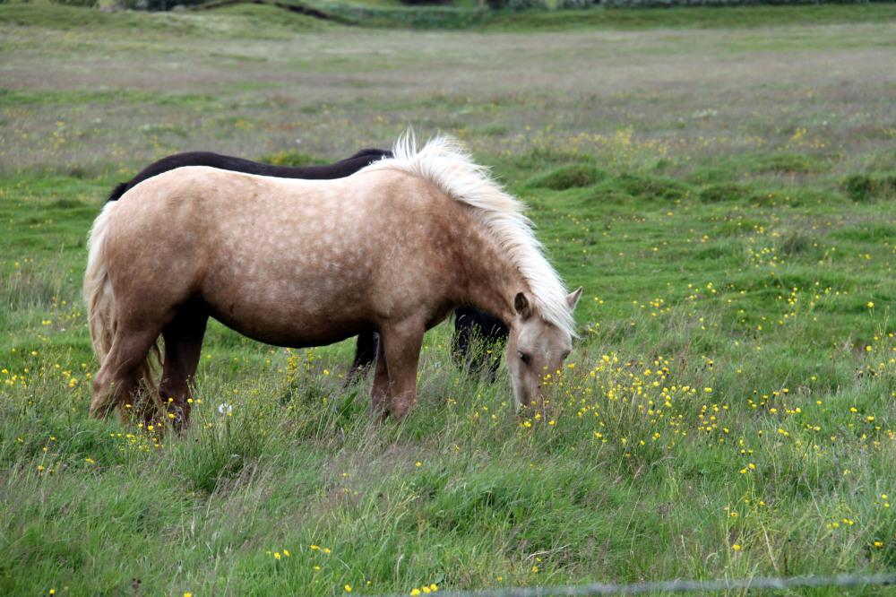 En Islande, l'herbe est encore plus verte!