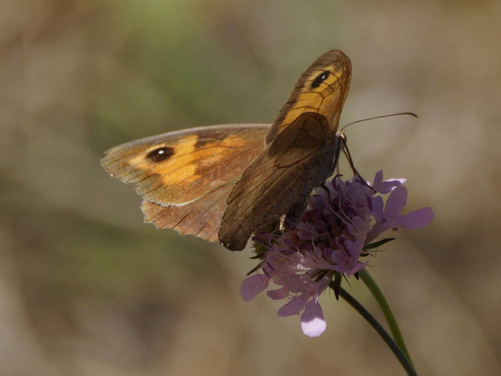 Papillon mordoré