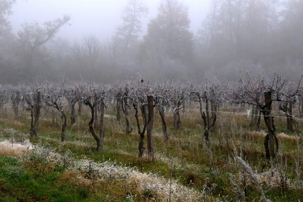 Les vignes ont froid!