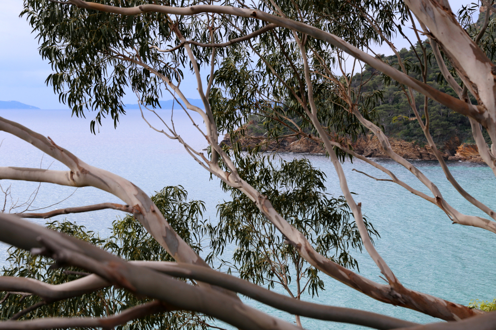 Branches d'eucalyptus
