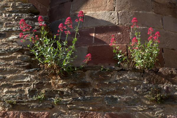 Fleurs et vieilles pierres