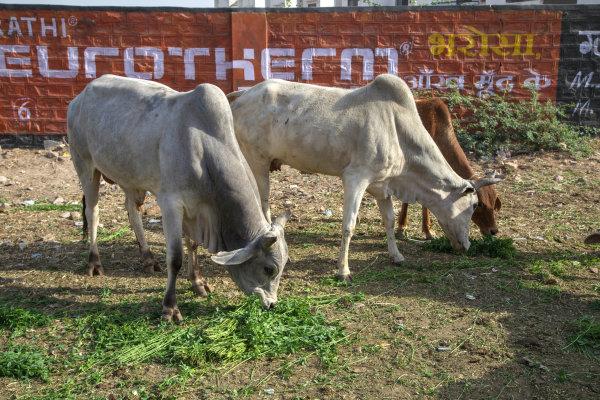 Des vaches heureuses!
