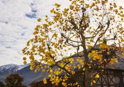 L'arbre doré