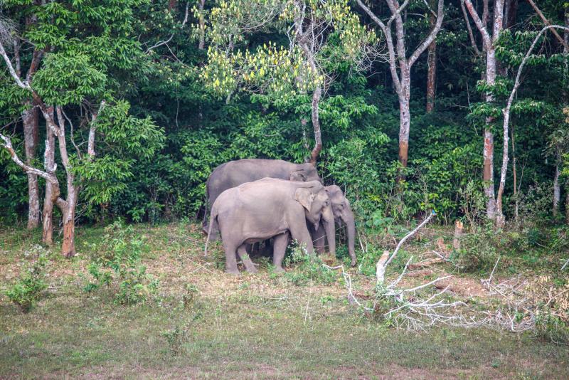 Les éléphants de Periyar.