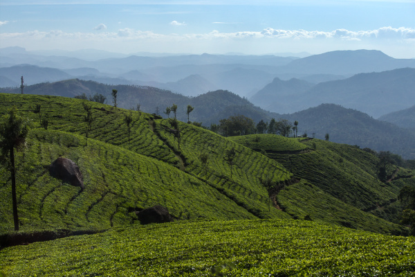 Plantations de thé du Kerala