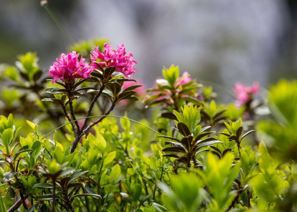 Fleurs de montagne 2