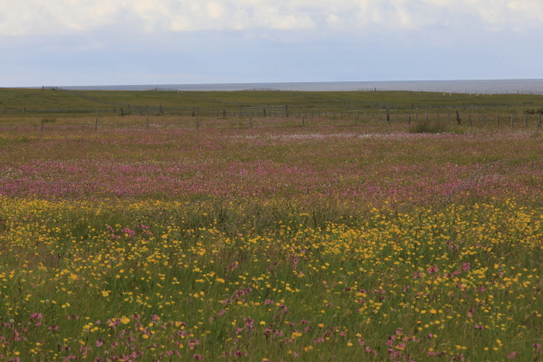Lande fleurie. (2)