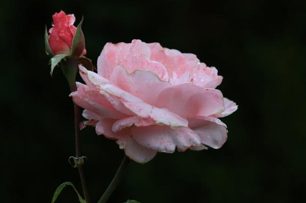 Dernière rose, ou presque...