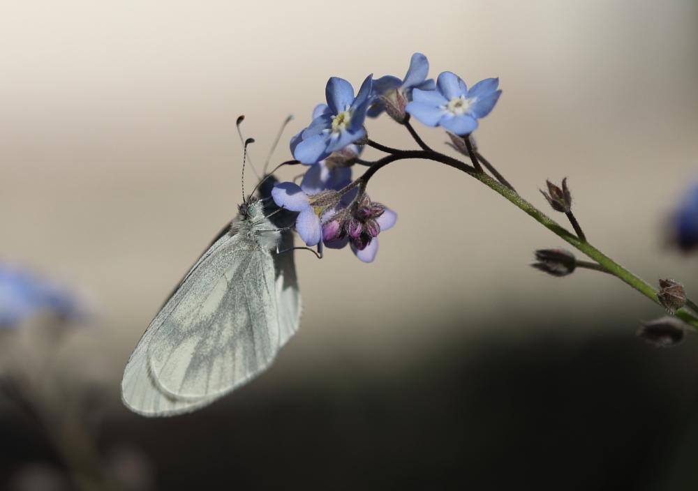 Papillons sur myosotis.