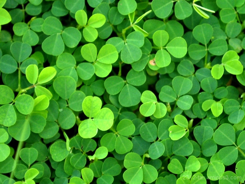 Up close with clovers