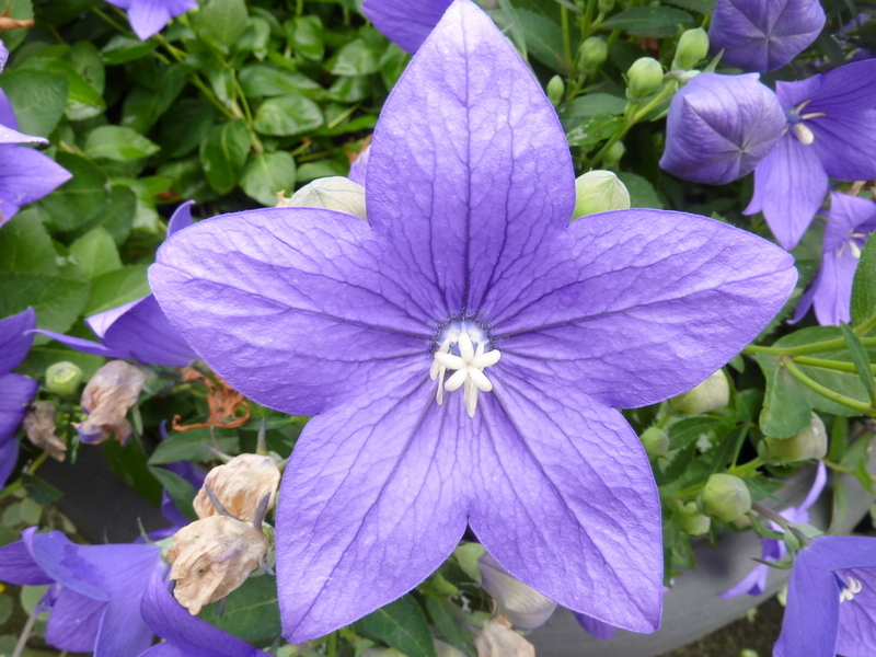"""Elle est """" fleur bleu """" !"""