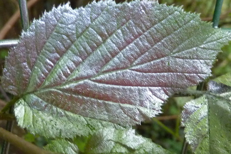 Silver leaf !