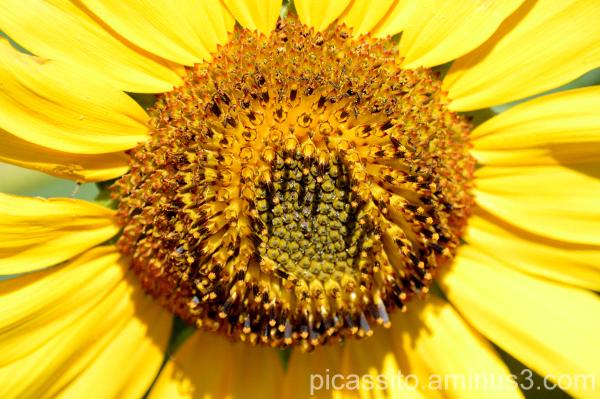 The Sunflower Shines