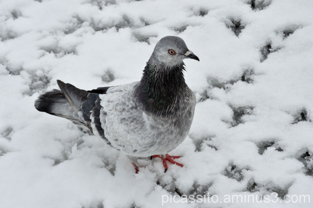 Pigeon in the Snow