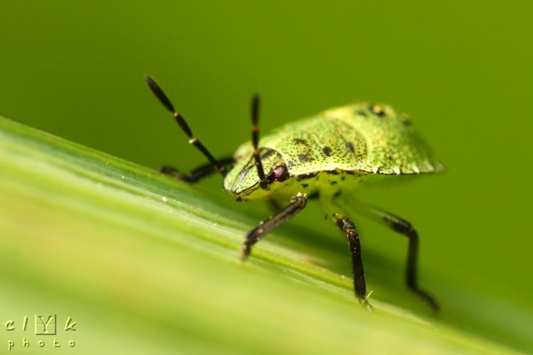 clyk macro larva green bug larve punaise verte