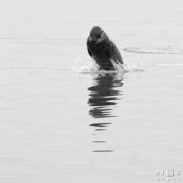 clYk seal jump phoque saut