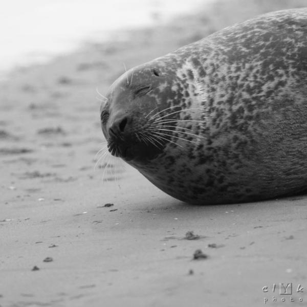 clYk portrait seal phoque Bretagne Mordreuc