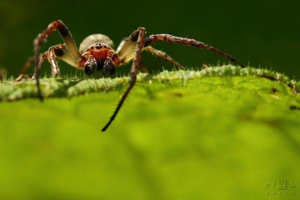 clYk macro spider araignée