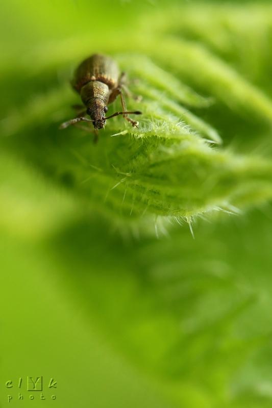 clYk macro Phyllobius Weevil nettles Charençon