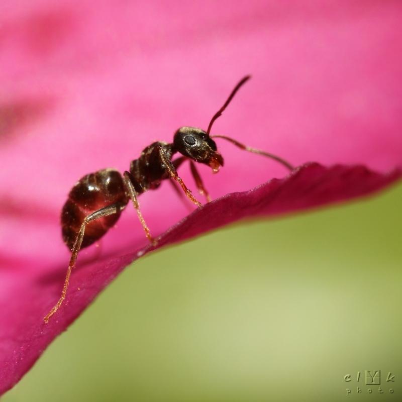clYk macro ant fourmi