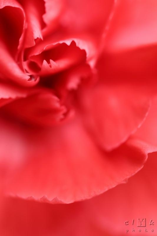 clYk macro flower carnation fleur oeillet