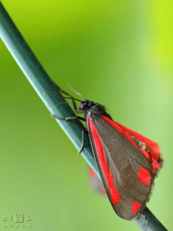 Zygaena filipendulae macro insect