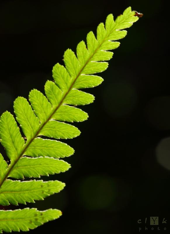 clyk macro fern fougère