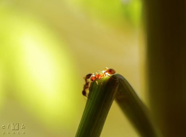 clyk nature macro ant fourmi