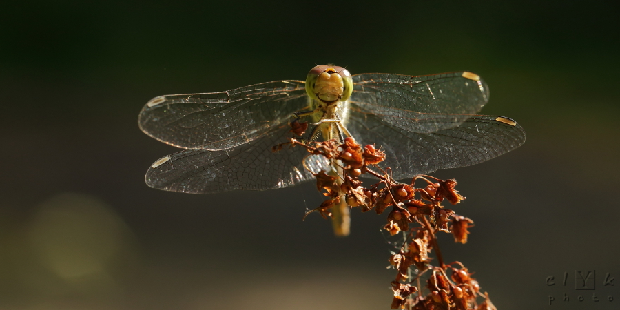 clyk nature macro dragonfly libellule