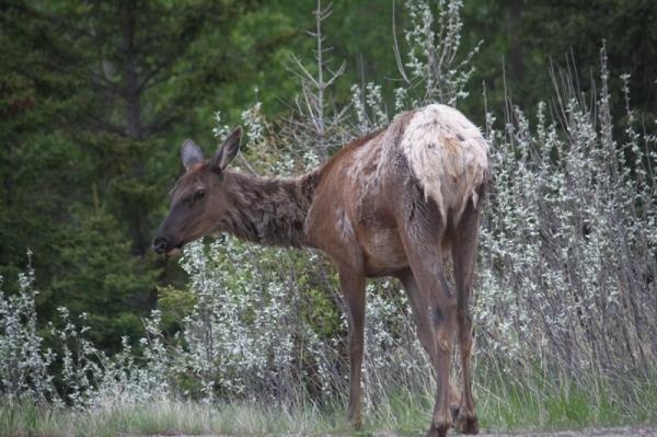 Scruffy elk