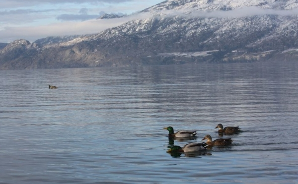 Ducks on the water.