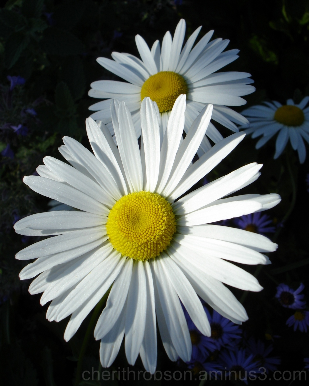 Daisy daisy.