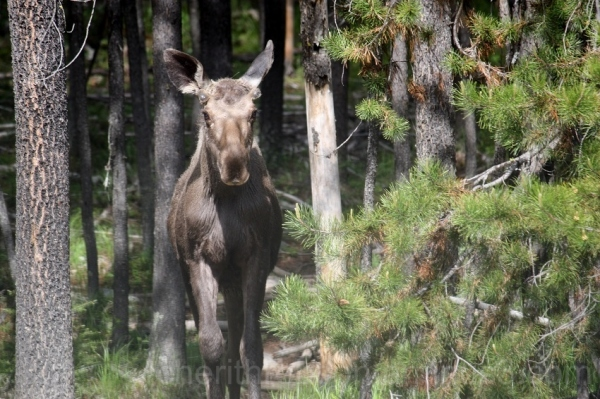 Baby moose.