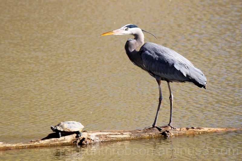 The Heron and the turtle.