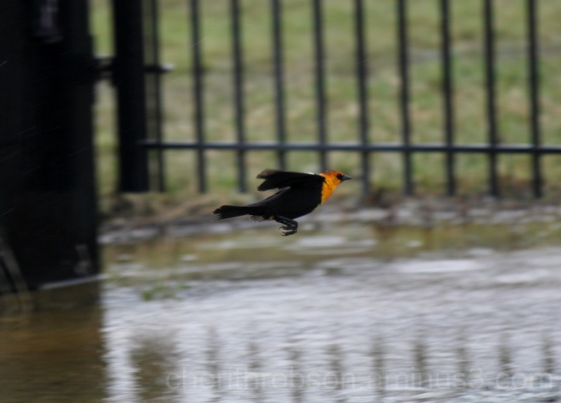 Yellow headed blackbird.