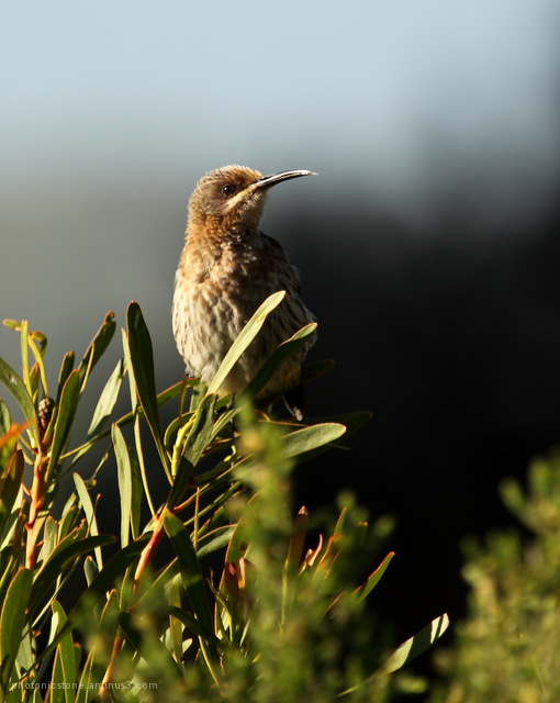 Sugarbird Hermanus Fernkloof Cape South Africa