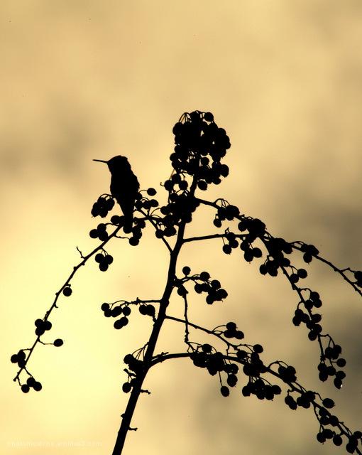 Hummingbird Silhouette, Portland Oregon