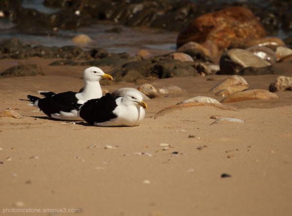 Gulls Knysna South Africa