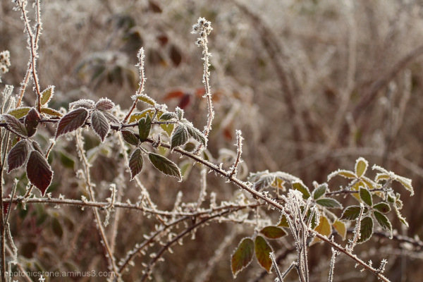 Ice on wintering blackberry