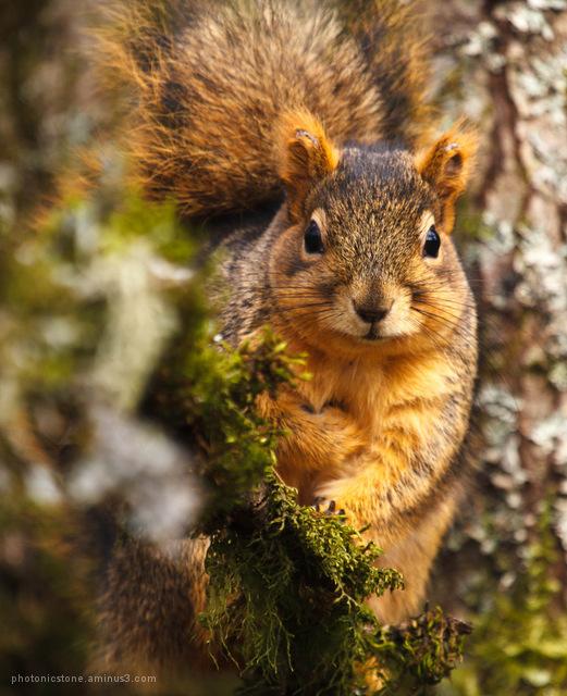 American Red Squirrel Portland Oregon
