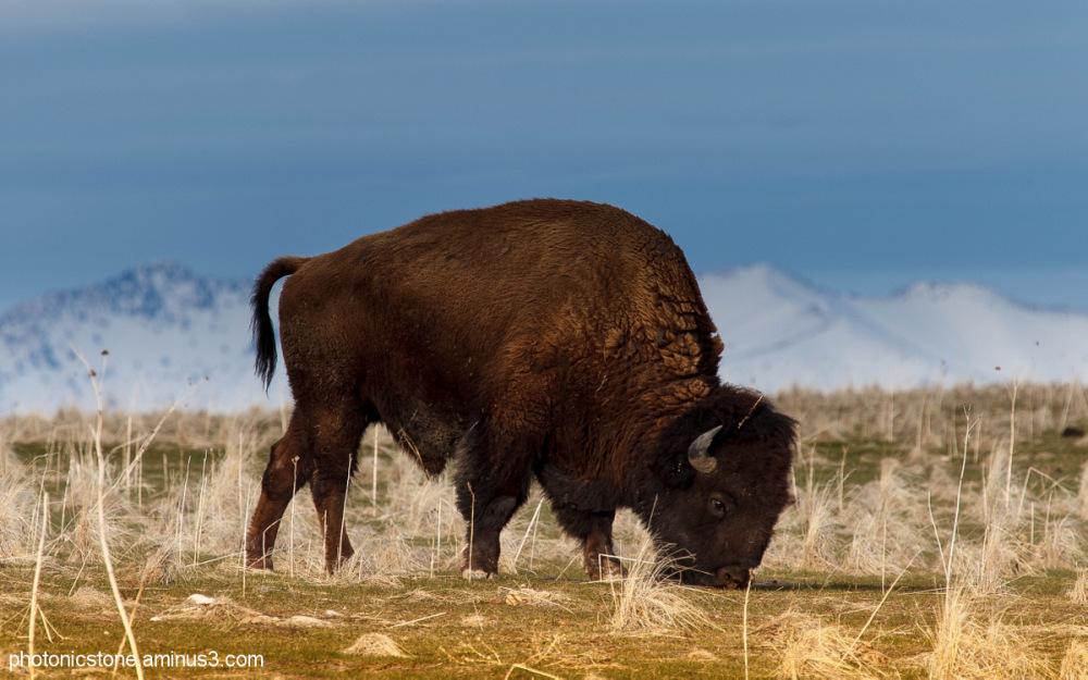 Bison bison, the American buffalo