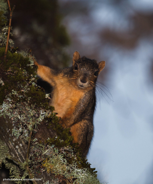 Fox Squirrel, Portland, Oregon
