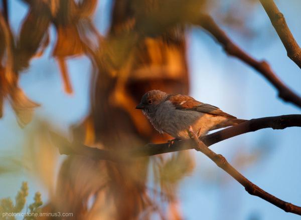 Sparrow, Hartebeestpoort, South Africa