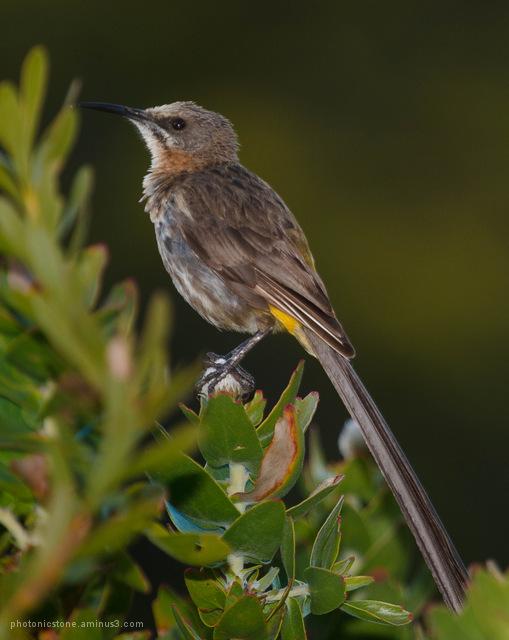 Cape Sugar-bird .. scouting the terrain